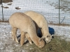 2 white alpacas eating winter hay