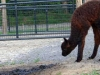 brown alpaca looking at bean pile