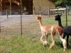 2 alpacas in fron of barn