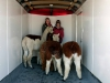 alpacas in a trailer