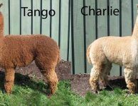 Tango Charlie copy