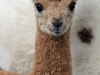 Sunance the Alpaca