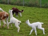 Cria playing
