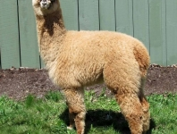 shearing-sunny-2013-018-low-res