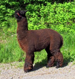 alpaca, black, fleece, fibre, profile
