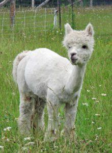 alpaca, white, female, meadow, wild flowers, fleece