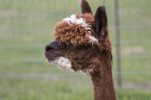 alpaca, female, markings, huacaya