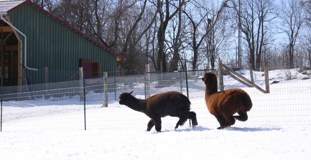 Alpacas on the Run 3 low res