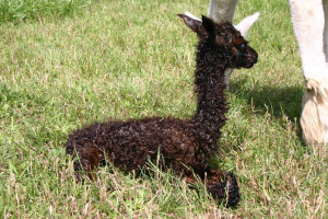 We are resolved to anticipate and be present for more cria births.