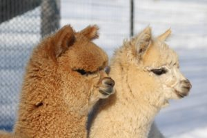 Finding Your Focus:  Where Do Alpacas Fit?