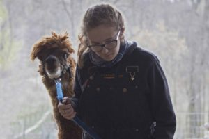 low-res-you-will-need-halter-and-leads-for-your-alpacas