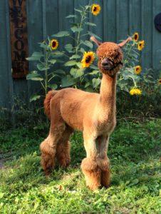 alpaca, male, brown, yearling, sunflowers, barn, profile, huacaya