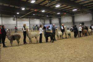alpacas show