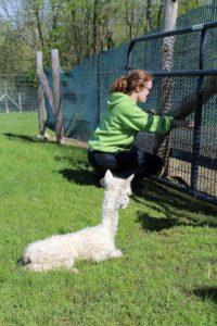 baby alpaca repairs fence