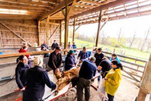 shearing alpacas volunteers barn