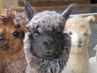 Readying Alpacas for a Canadian Winter