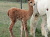 Sundance the Alpaca with Mom