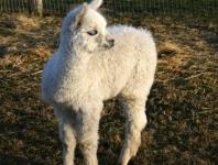 alpaca-129_low-res