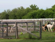 Ted leads the herd to pasture where they just might drop in to say hi to customers at The Shed_low res
