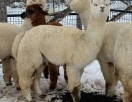 Ceilidh in Full Fleece