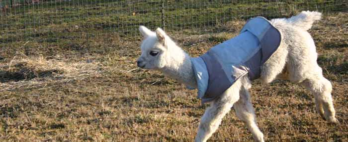 White cria wearing a blue jacket