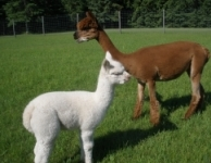 Whychin with her Cria