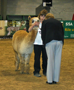 Kids do a wonderful job showing. Here, an 11-year old shows her animals' bite to the judge.