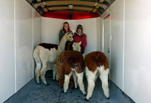 When we transport our alpacas, I handle them and make sure they have everything they need to make the trip comfortable.