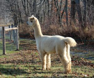 alpaca, male, stud