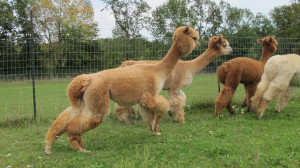 Alpacas on the Run low res