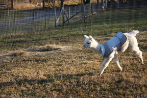 Do autumn cria need a warm coat on cold days? Friends provide the answers