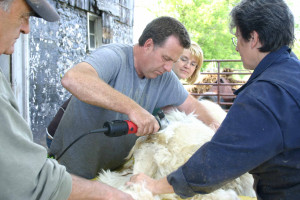 Melody of Twolooms Alpacas offers sage advice to Mike his first time shearing