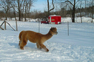 A trailer to transport alpacas was equipment we resolved to own as each new year rolled round.