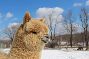 What to Expect When You're Expecting … Alpacas!