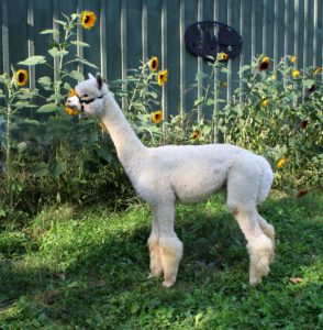 alpaca, huacaya, white, male, sunflowers, barn, sunshine