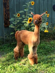alpaca, male, brown, yearling, sunflowers, barn, profile, huacaya