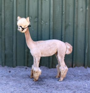 alpaca fawn yearling