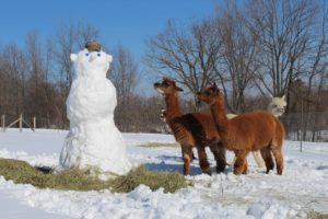 cold winter snowman alpacas