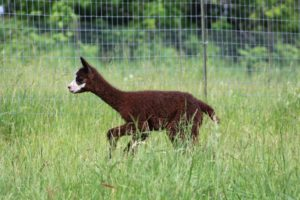 grass meadow alpaca cria brown