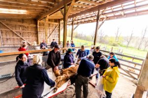 shearing alpacas volunteers barn