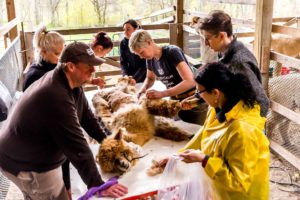 volunteers shearing alpacas