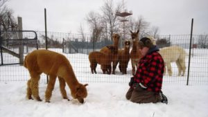 alpacas, winter