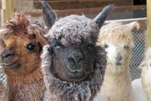 alpaca black snow canada winter cold