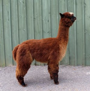 alpaca brown fleece