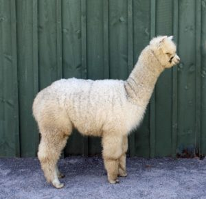 alpaca white fleece yearling