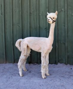 alpaca white shorn profile barn