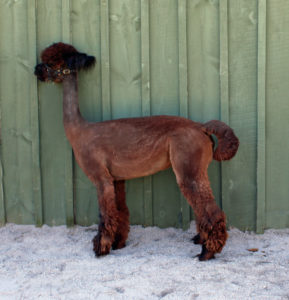 brown alpaca shorn