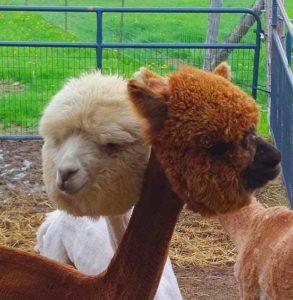 brown white alpacas head shots