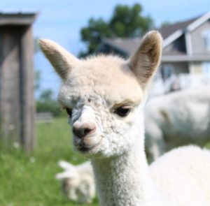 alpaca portrait white cria