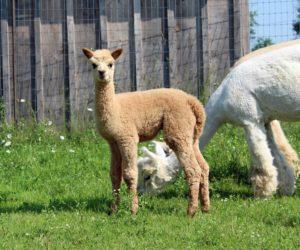 alpaca cria fawn meadow